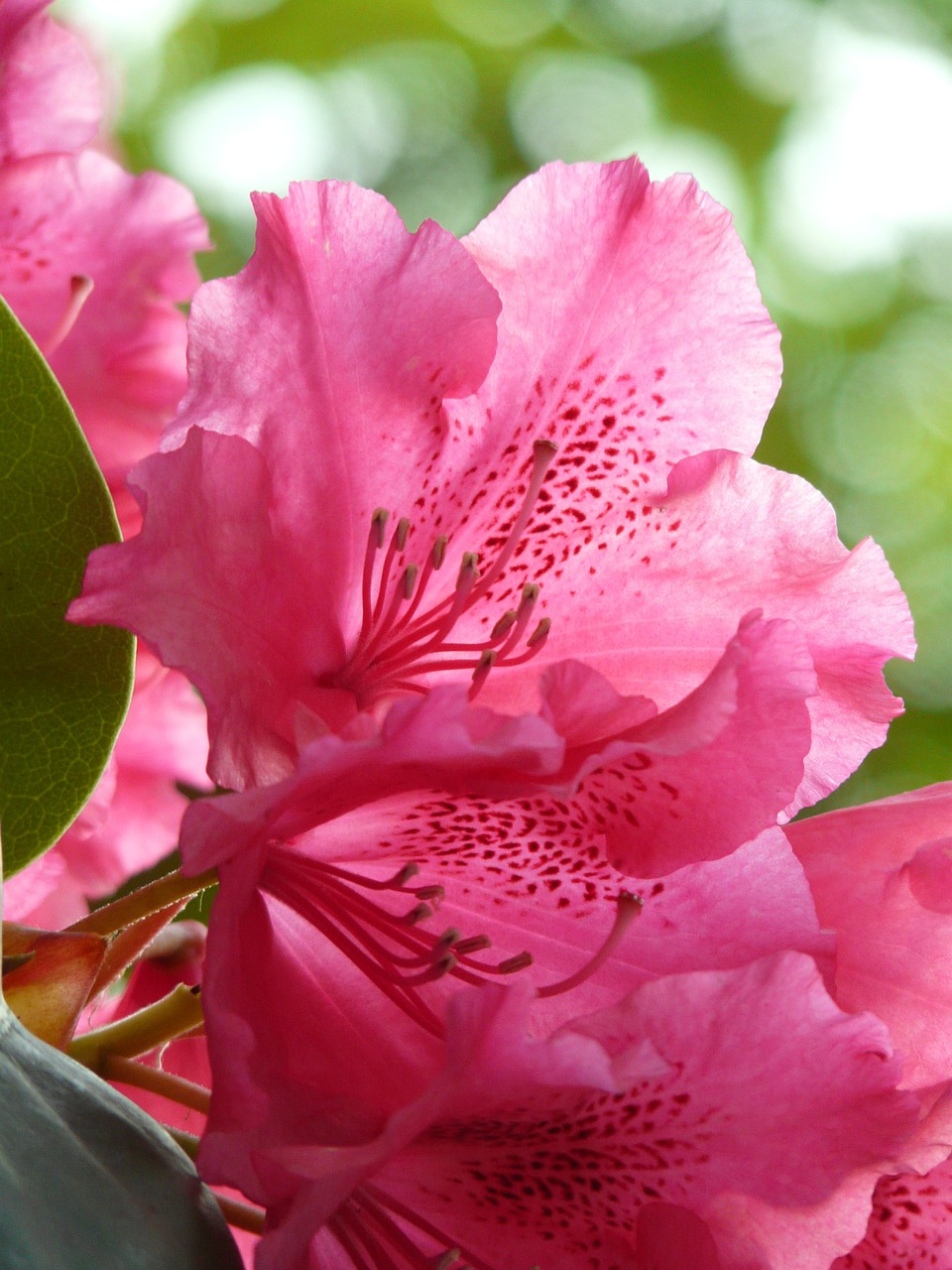 azalea rhododendron flowers free photo