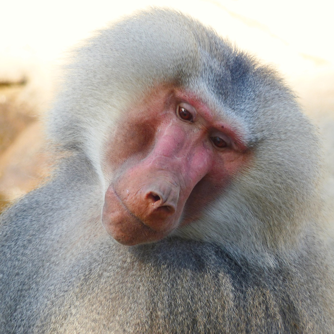 baboon hamadryas male free photo