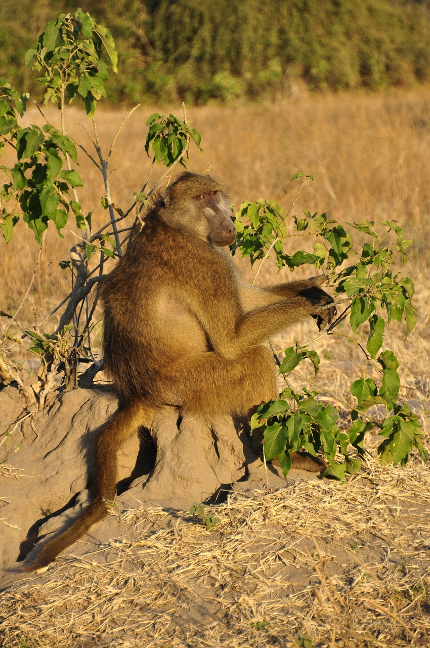 baboon monkey sitting sitting free photo
