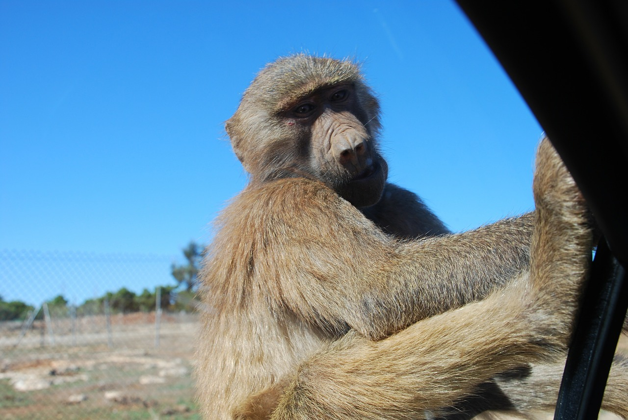 baboon mallorca monkey free photo