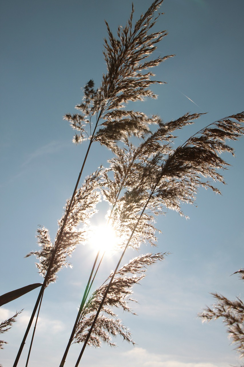 backlight,cane,grass,reeds,sun,sunshine,tall,nature,plants,free pictures, free photos, free images, royalty free, free illustrations, public domain
