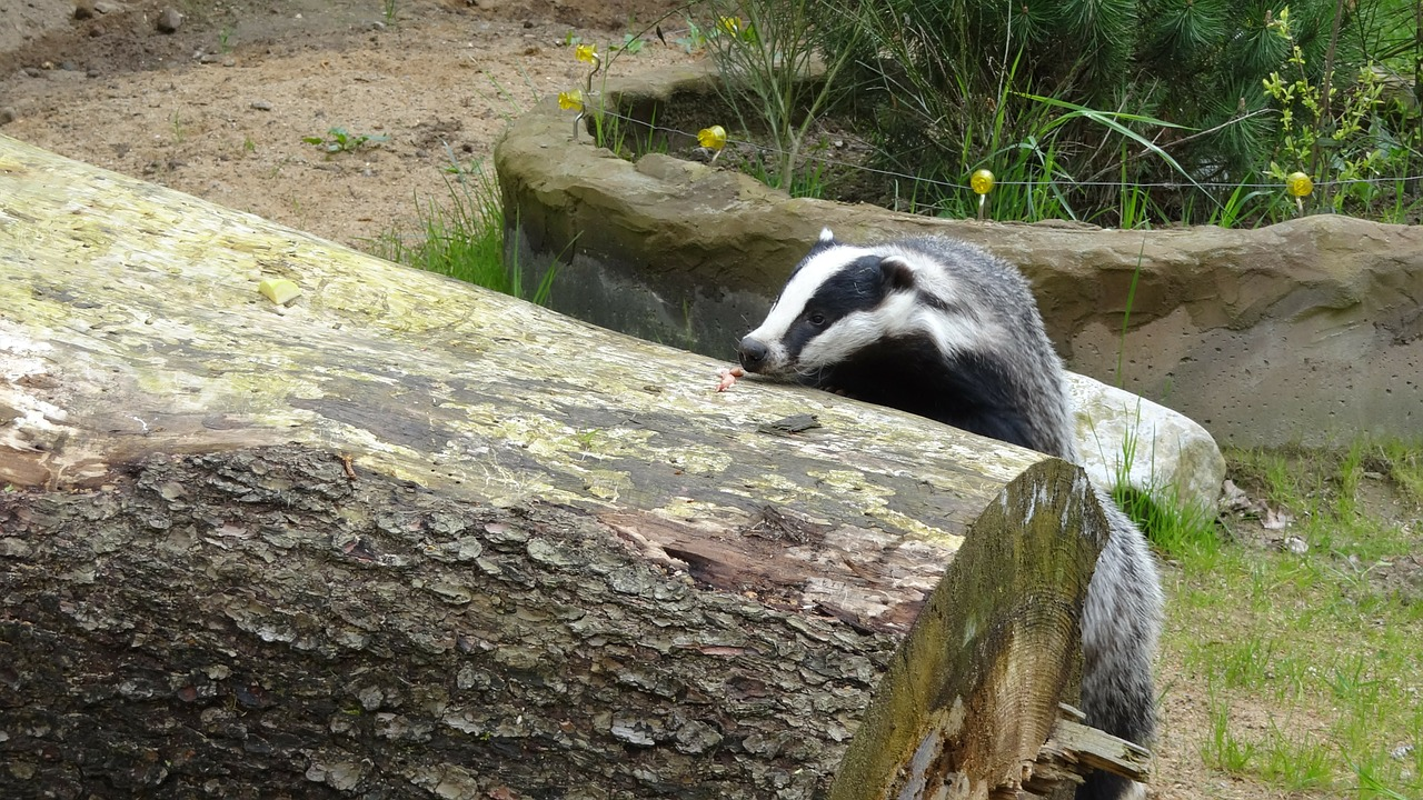 badger animal forest free photo