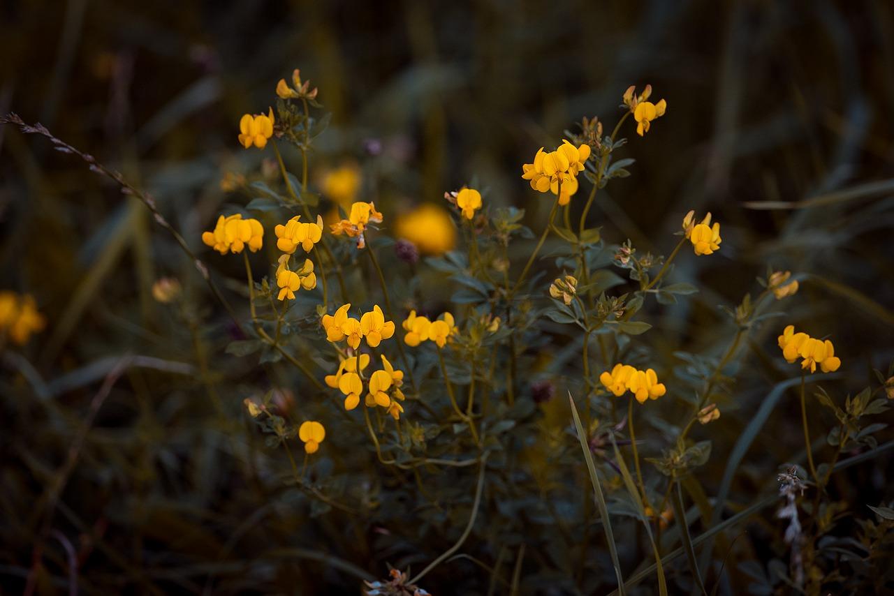 Ball Broomradiation Broomgenista Radiataflowerpointed Flower