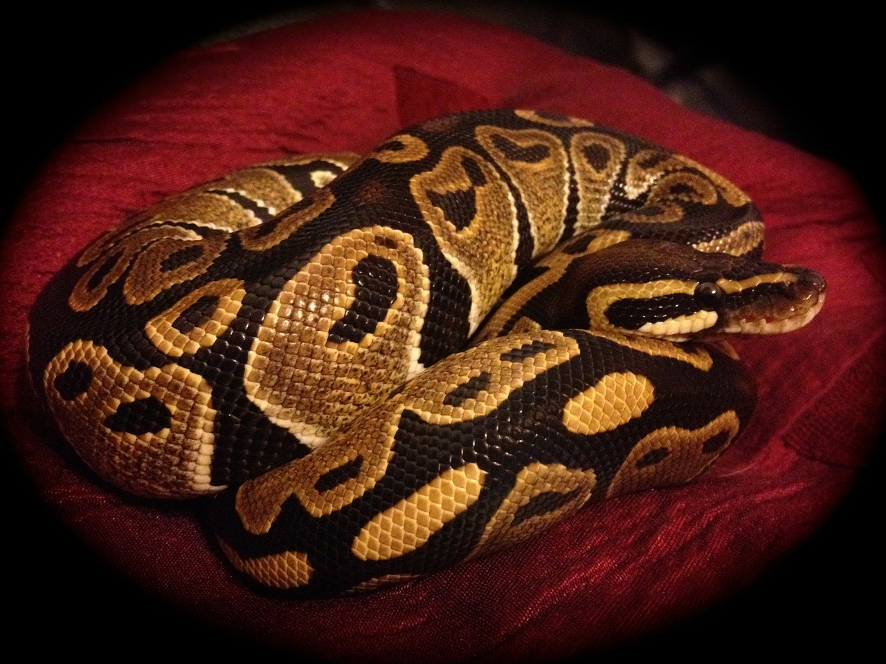 ball python snake normal free photo