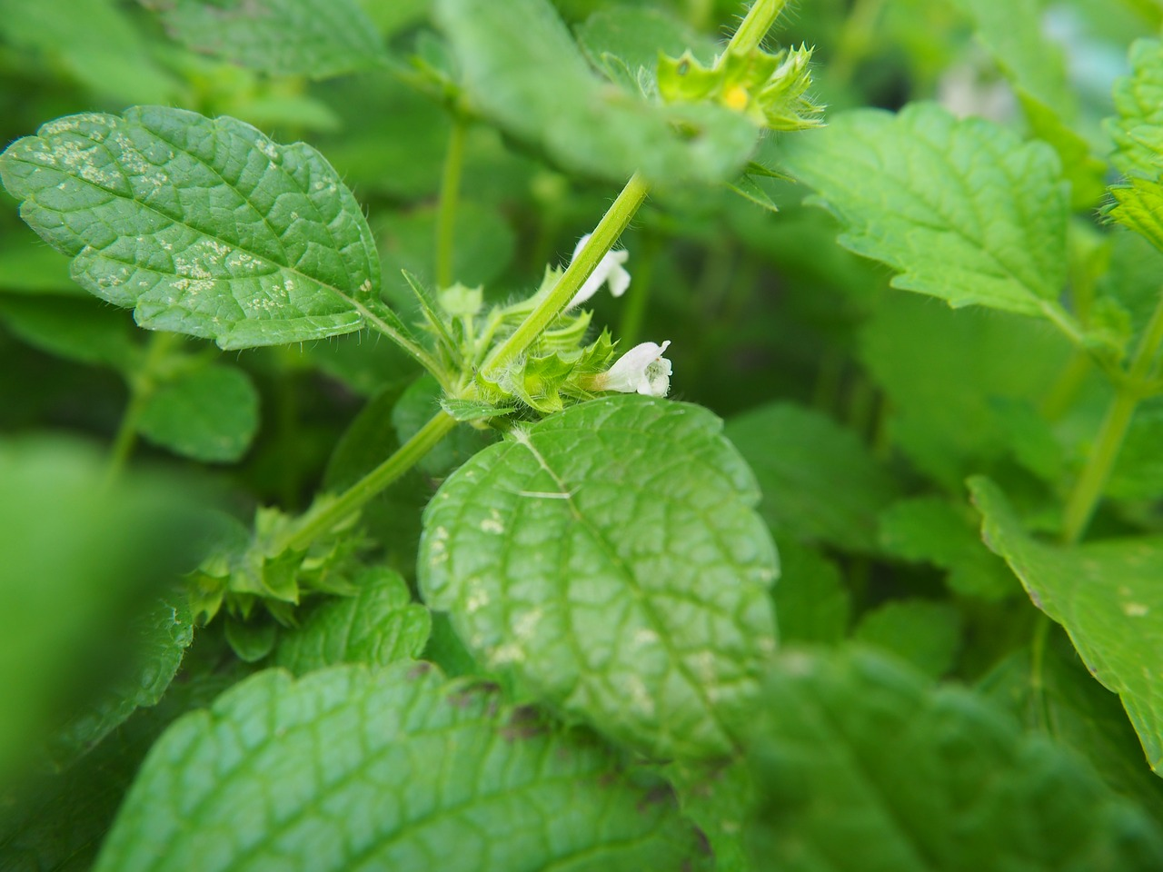 balm lemon balm green free photo