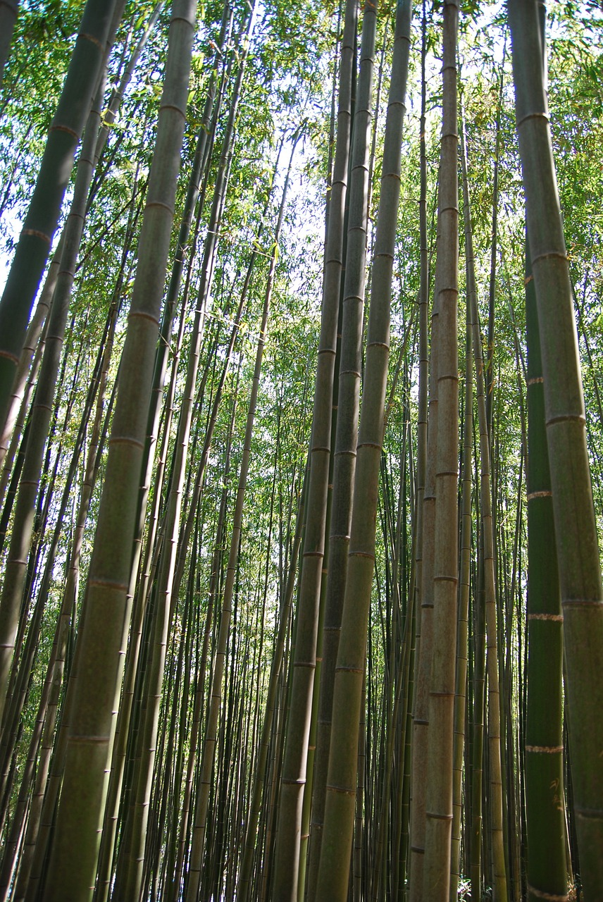bamboo nature bamboo forest free photo