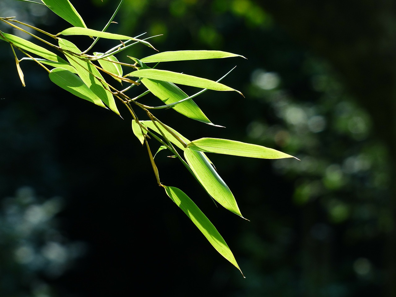bamboo bamboo leaves leaves free photo