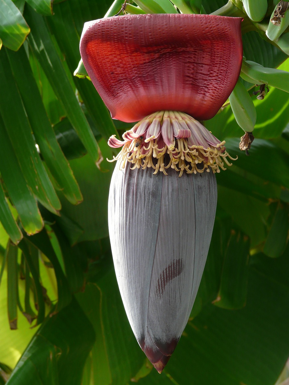 banana fruit inflorescence free photo