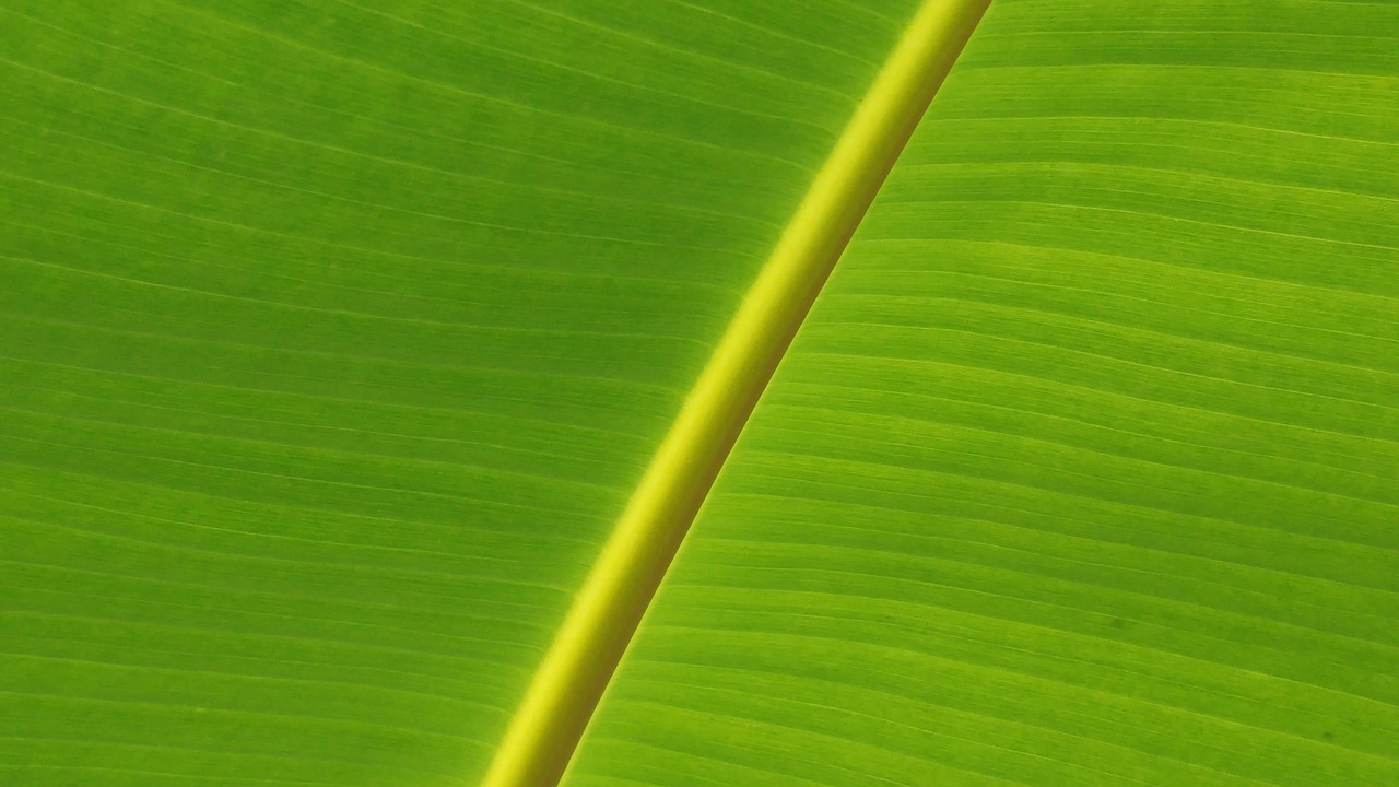 banana leaf leaves mesopodium free photo