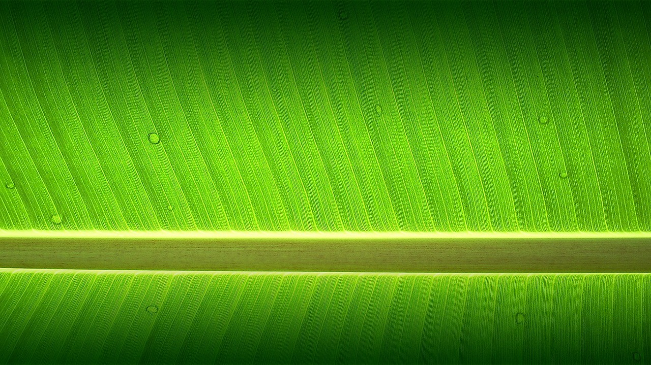 banana tree garden wallpaper free photo