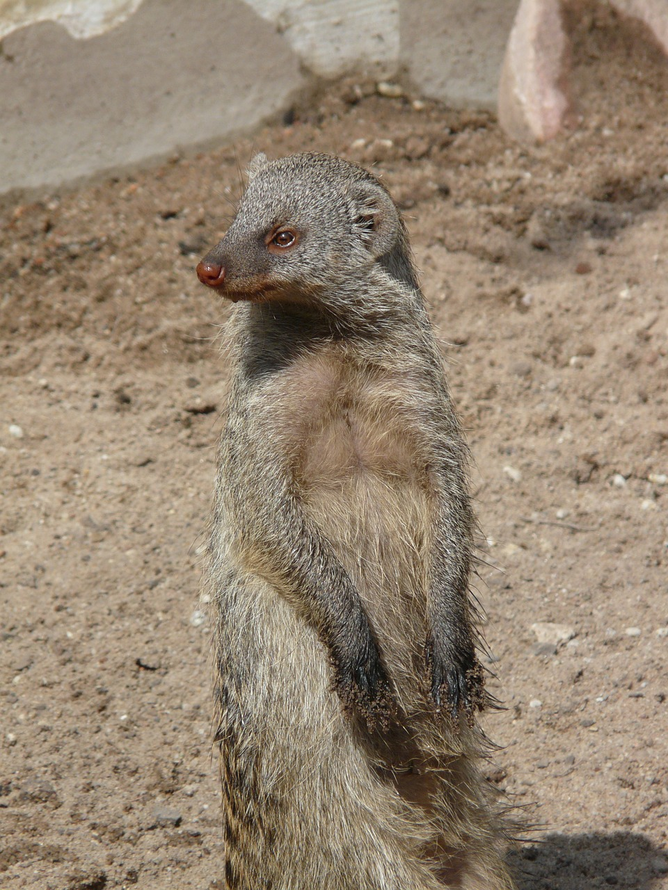 banded mongoose mongoose mammal free photo