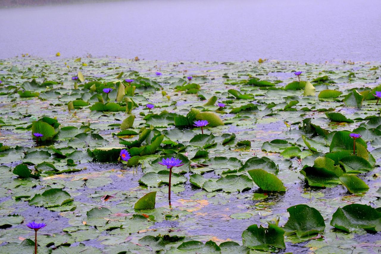 Bangladeshnationalflowerwater lily free photo from needpix bangladeshnationalflowerwater lily izmirmasajfo
