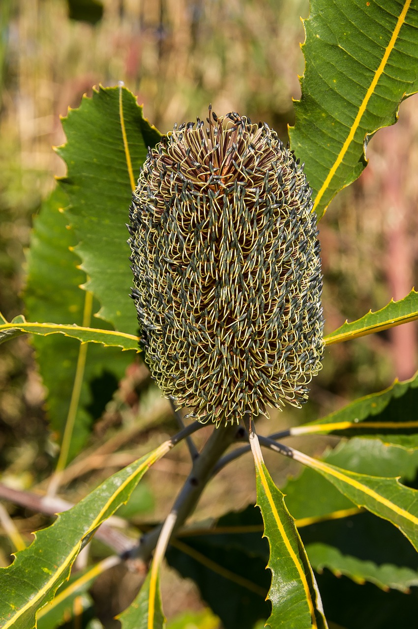 banksia flower seeds free picture