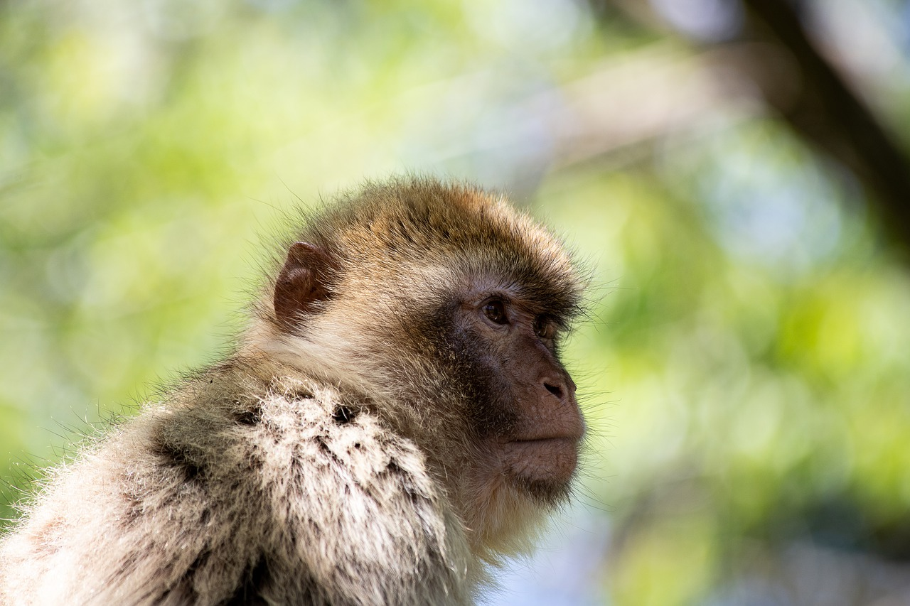 barbary ape  monkey  primate free photo