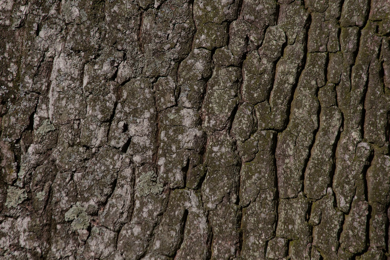 bark tree oak free photo