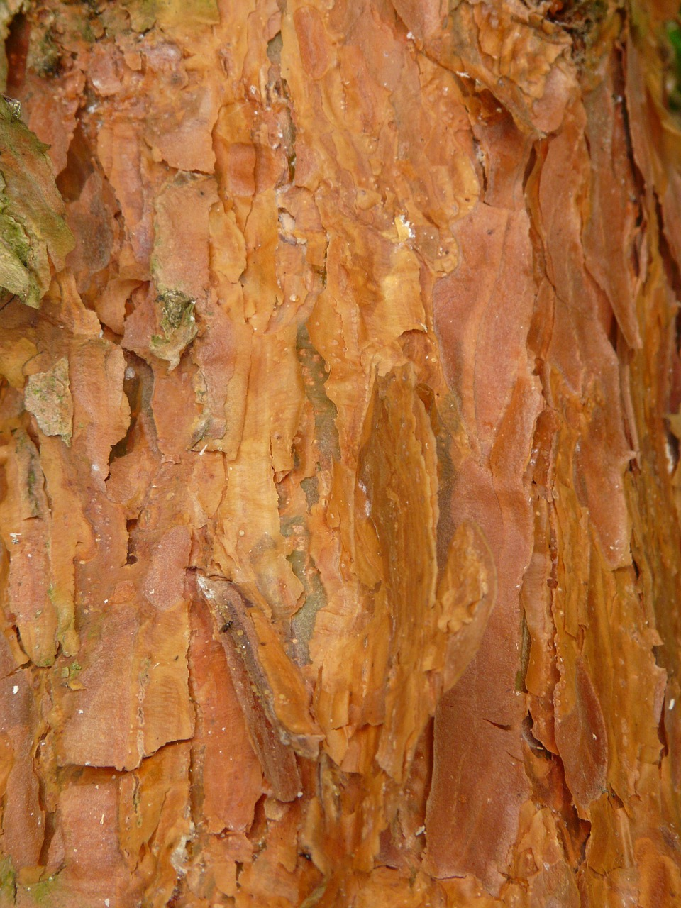 bark pine red free photo