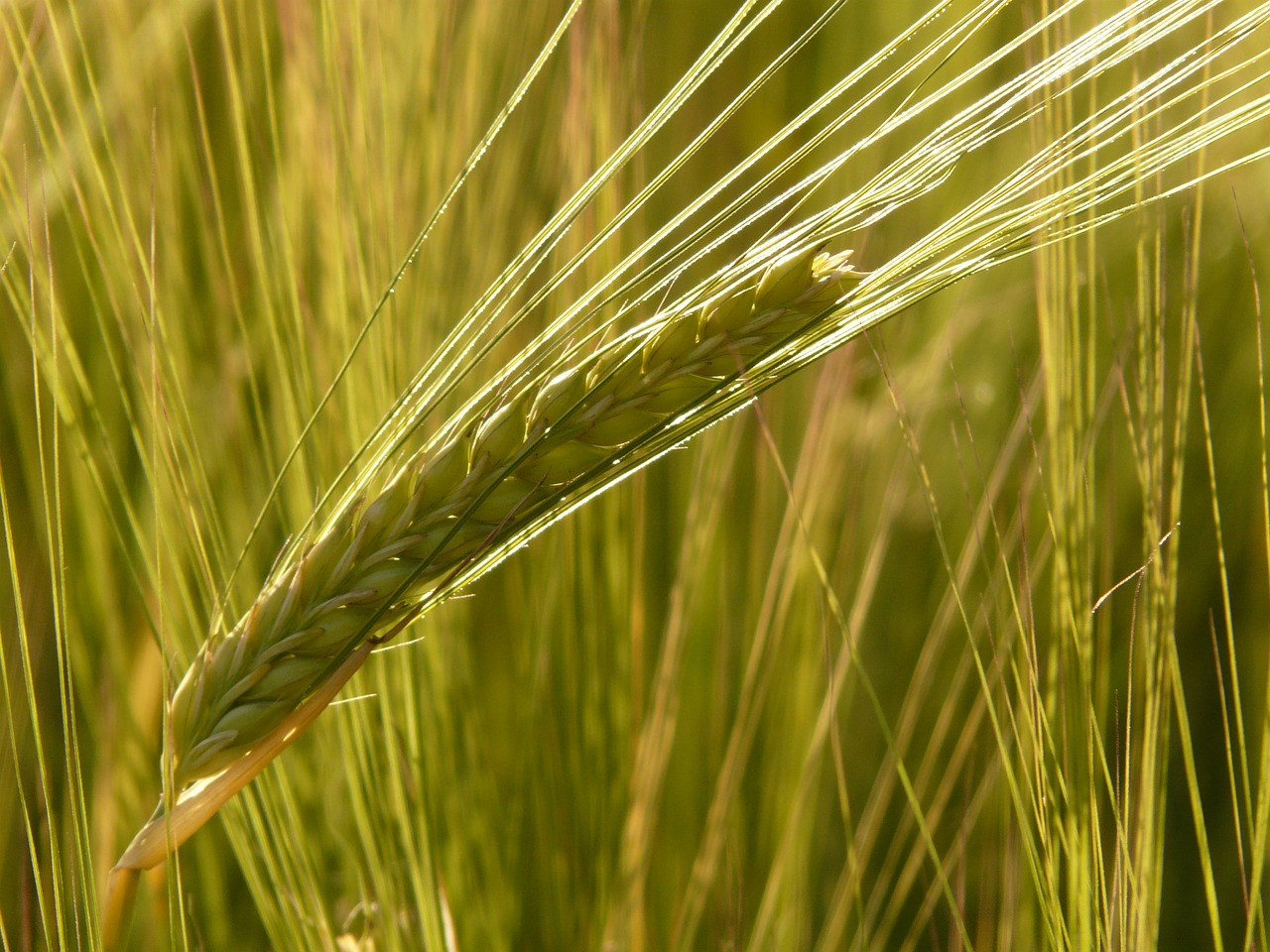 barley field barley cereals free photo