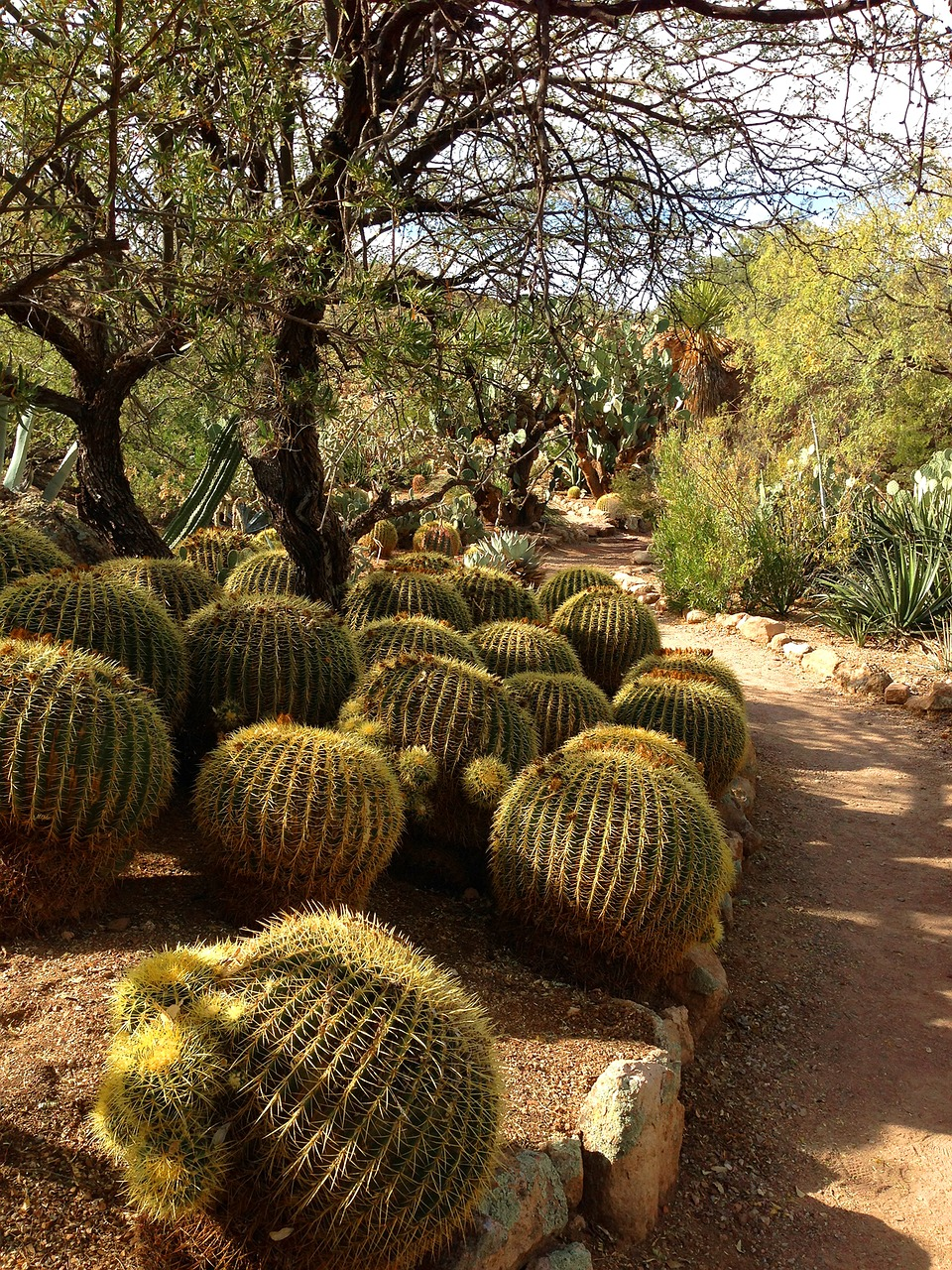 BARREL CACTI GARDEN PATH BARREL CACTI CACTUS FREE PHOTO FROM