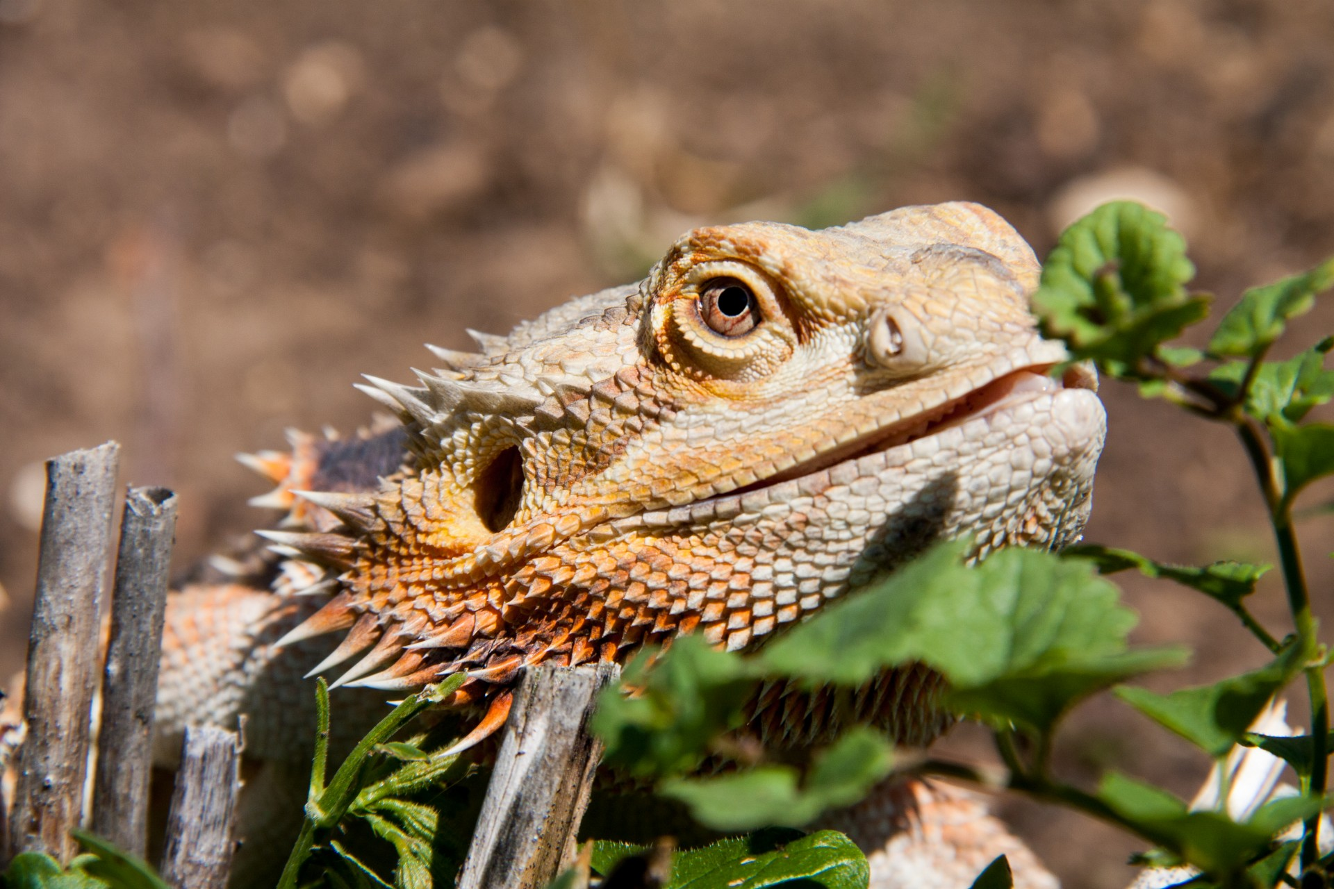 bearded lizard pictures - HD 1200×800