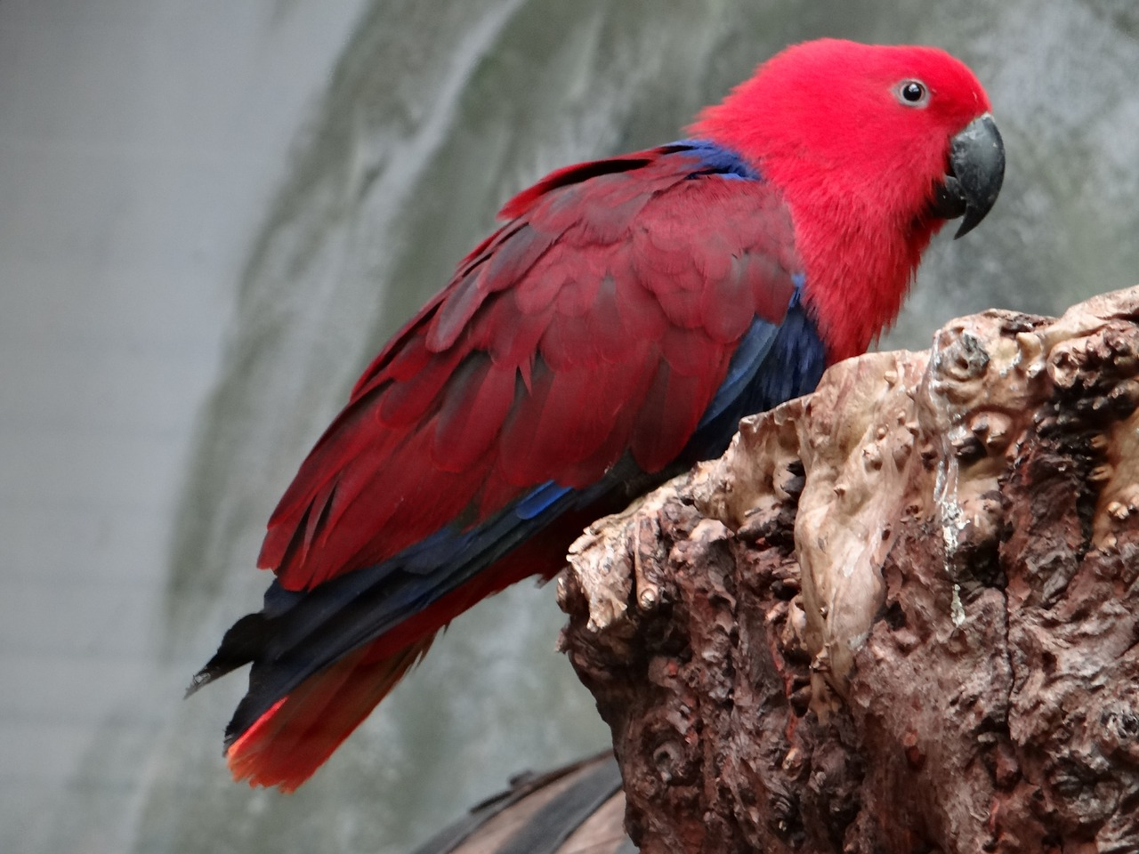 barwnica large parrot bird colorful free photo