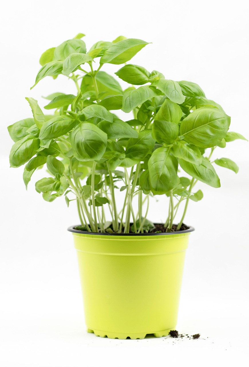 basil,basil bush,basil pot,herbs,culinary herbs,mediteran,italian,free pictures, free photos, free images, royalty free, free illustrations, public domain