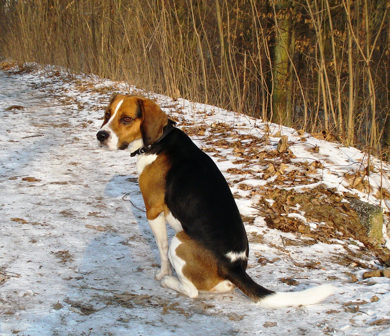 beagle dog canine free photo