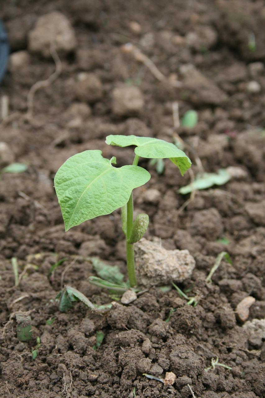 Beans,seedling,rostock,plant,garden - free photo from needpix.com