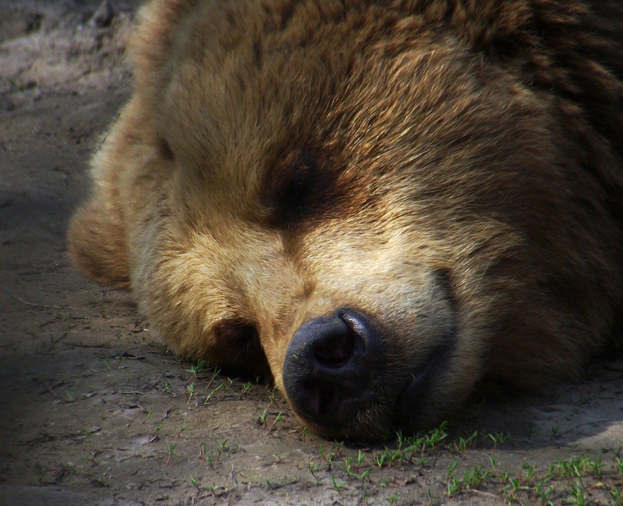 bear sleep rest free photo