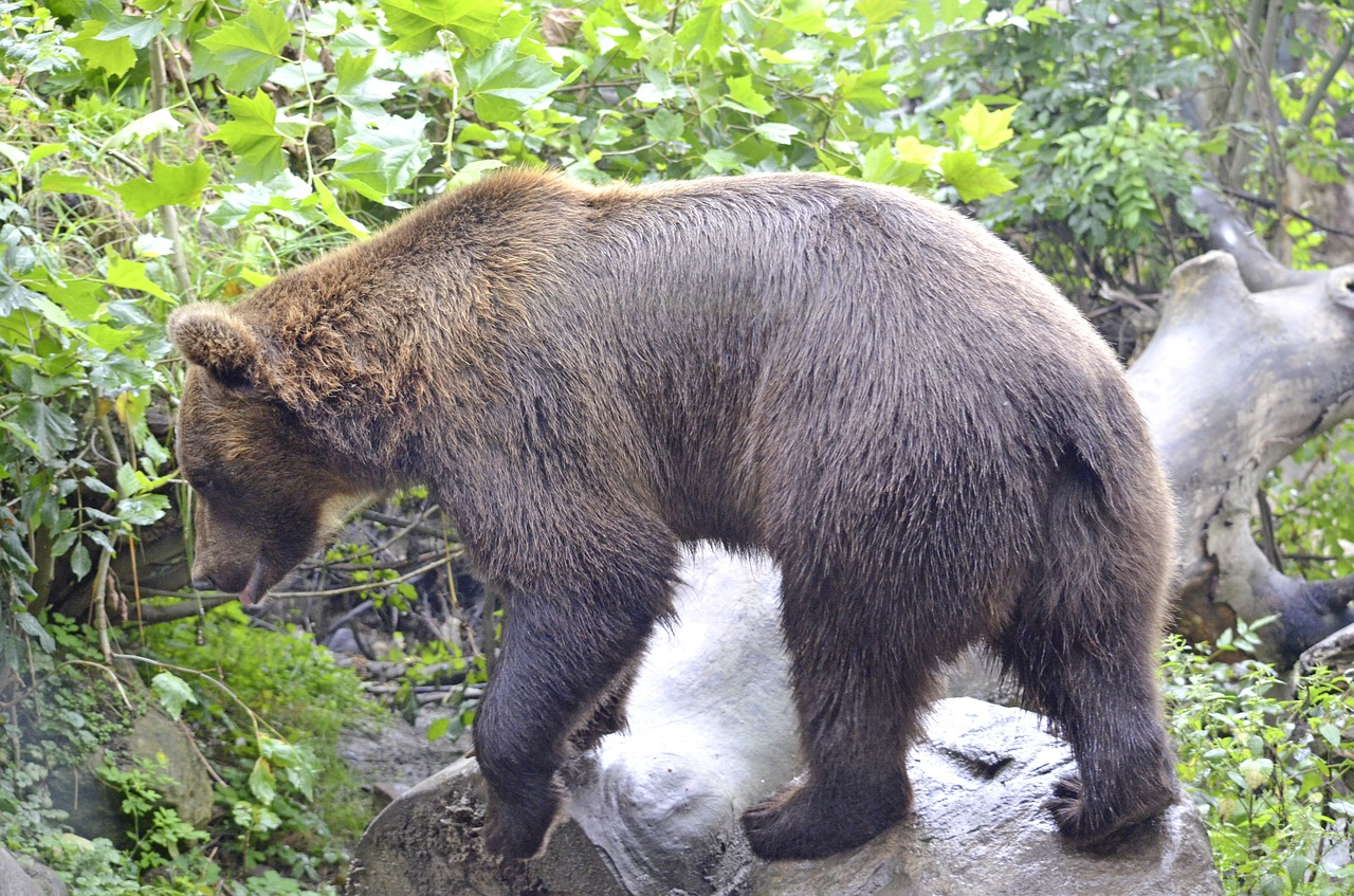 bear wild animal brown bear free photo