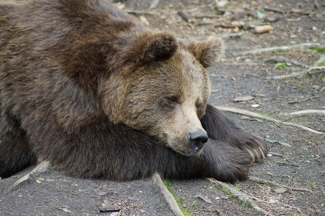 bear braubbaer grizzly free photo