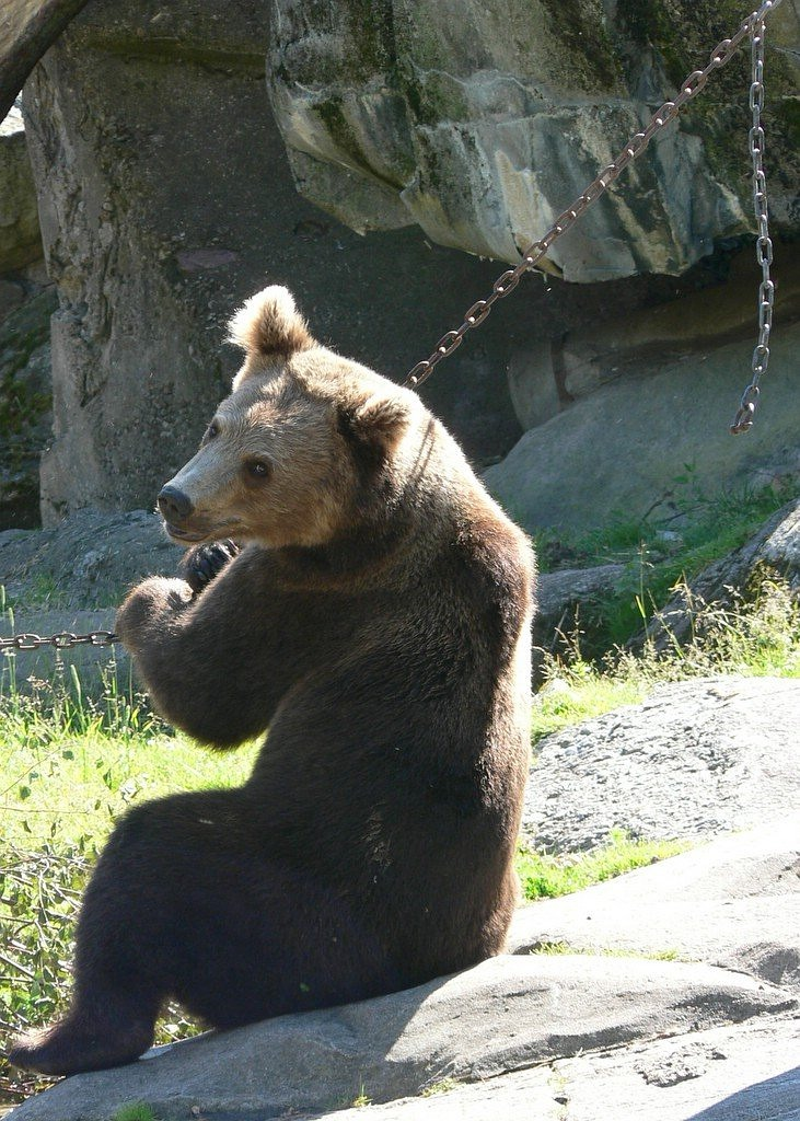 bear brown bear sit free photo