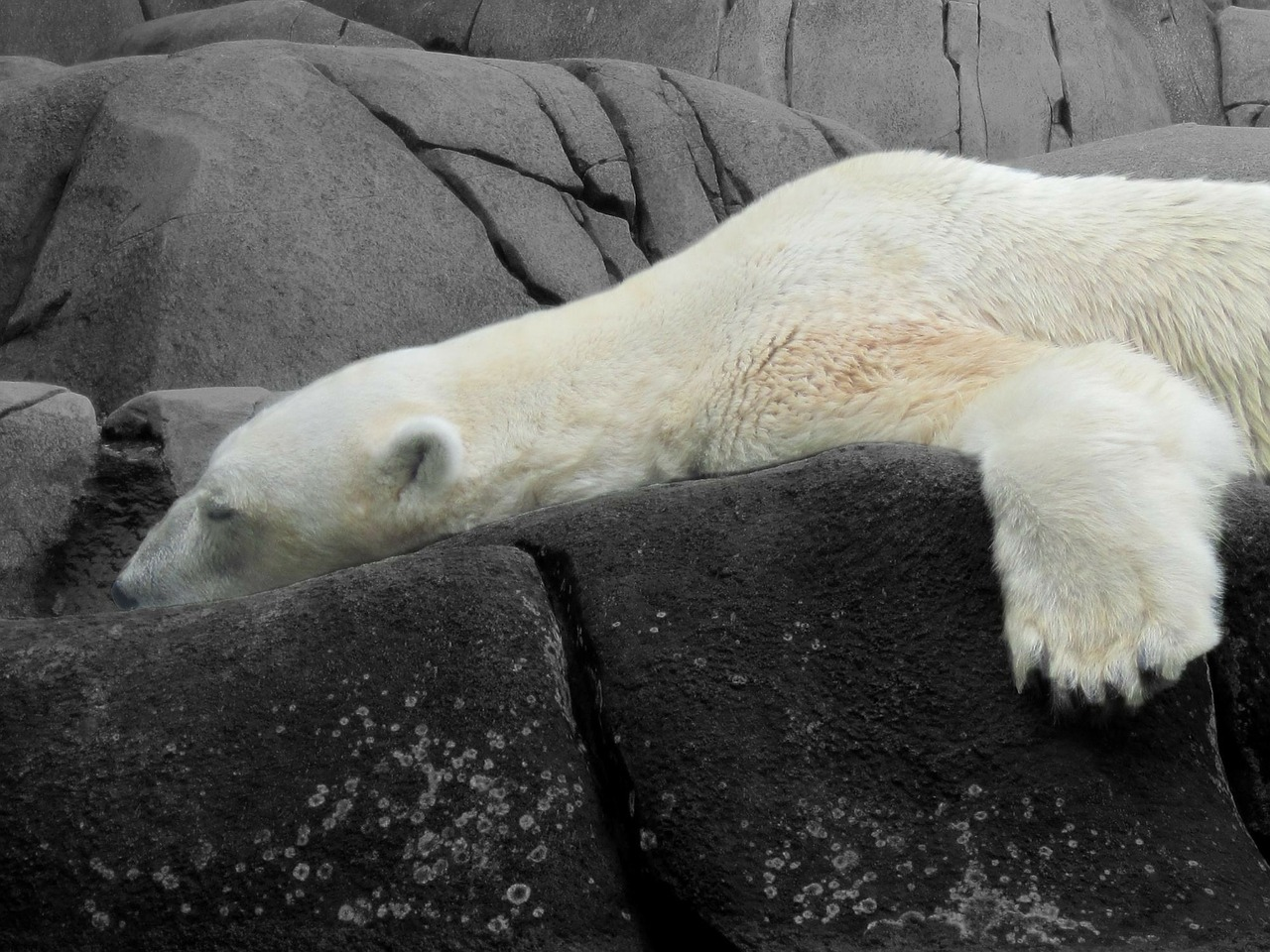 bear polar bear animals free photo