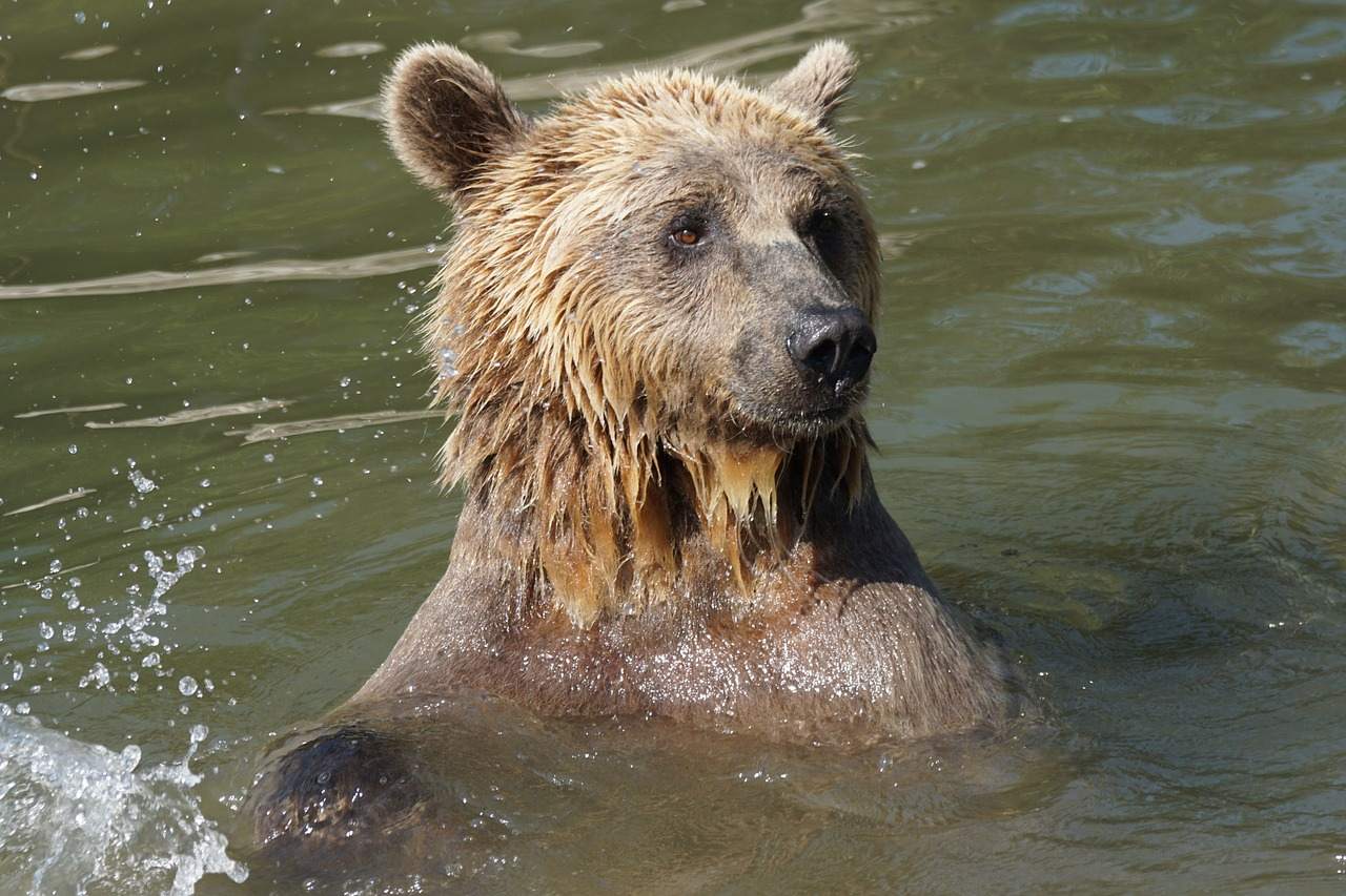 bear water wet free photo