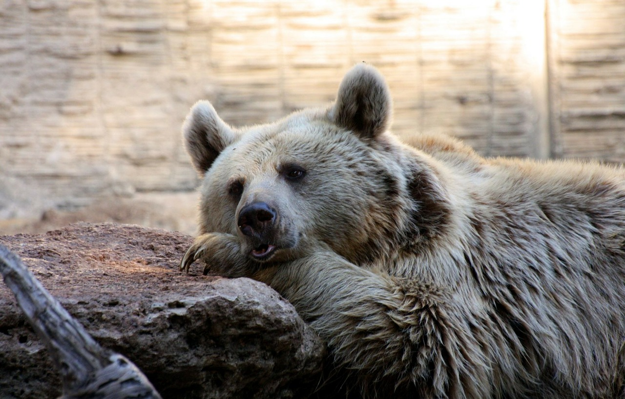 bear lazy sleepy free photo