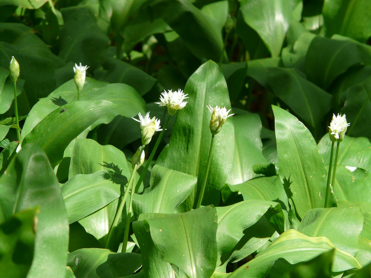 bear's garlic blossom bloom free photo