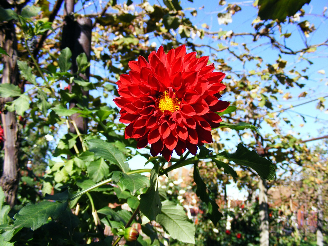 beautiful dahlia flowers free photo