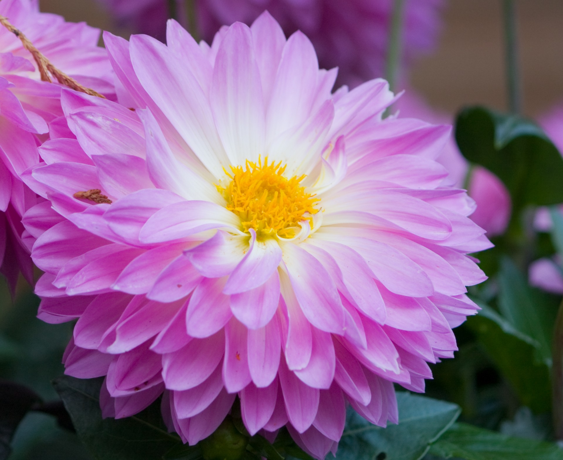 Flower,dahlia,lavender,pink,beautiful - free photo from