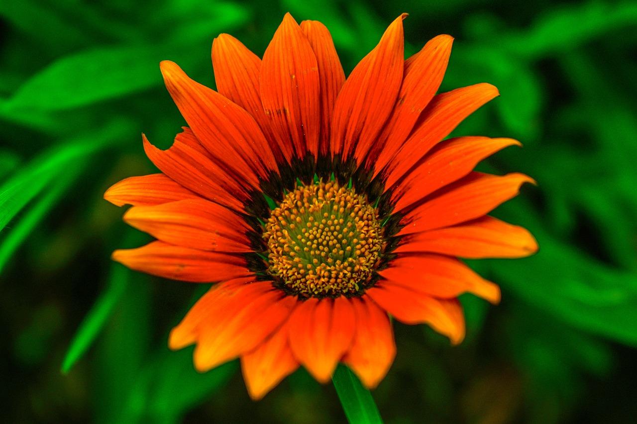 Beautiful Flower Nature Beautiful Gerbela Petals Beautiful Free Pictures Free Image From Needpix Com