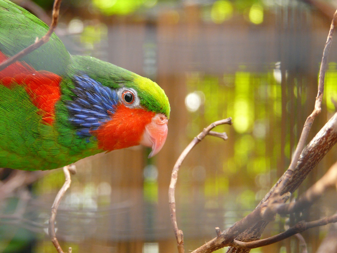 beautiful lorikeet parrot charmosyna placentis free photo