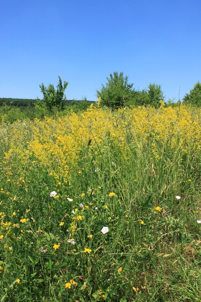 bedstraw field flowers free photo