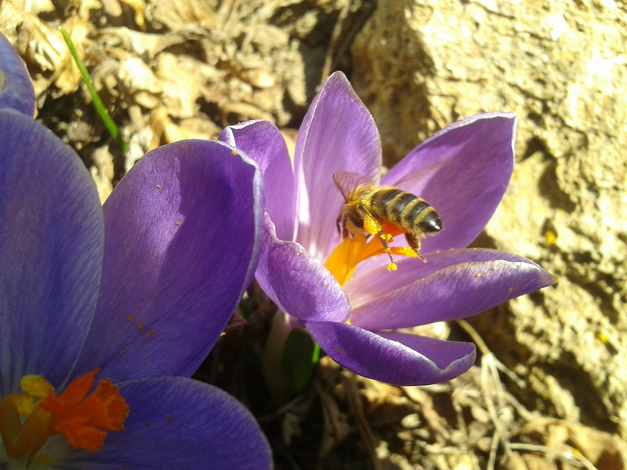 bee flower pollination free photo