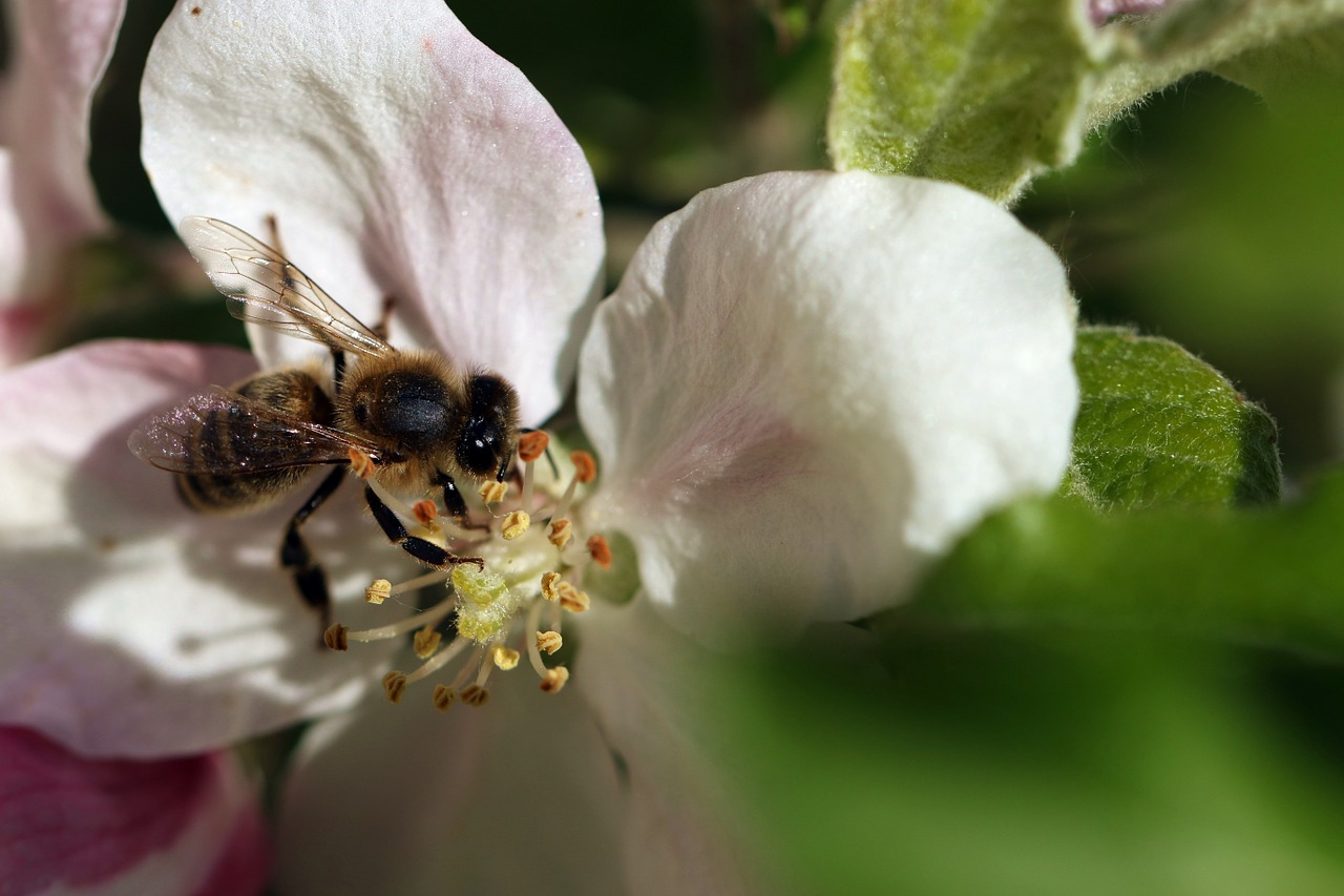 bee pollination wings free photo