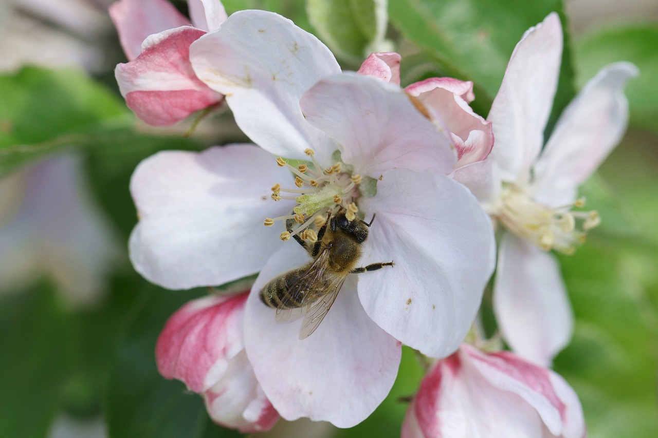 bee pollination apple flower free photo