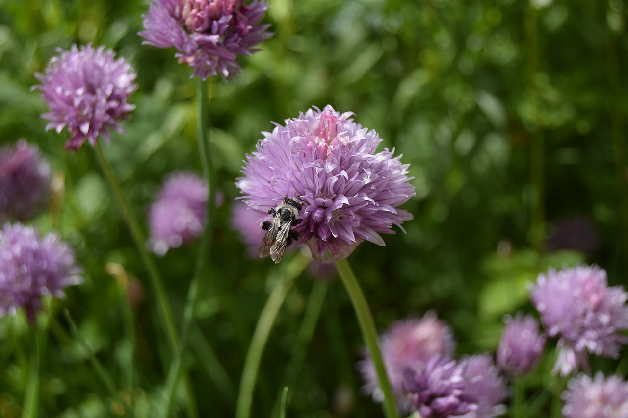 bee chives flower free photo