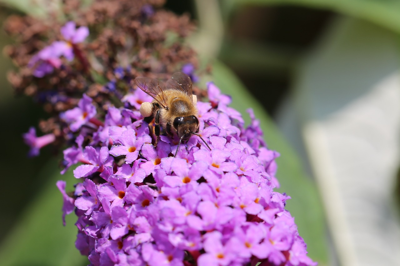 bee, buddleja davidii, honey, flowers, pollen,free pictures, free photos, free images, royalty free, free illustrations, public domain
