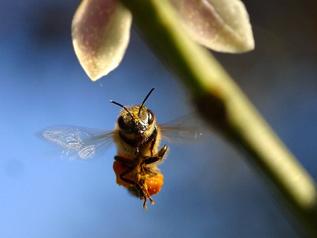 bee pollen wing free picture