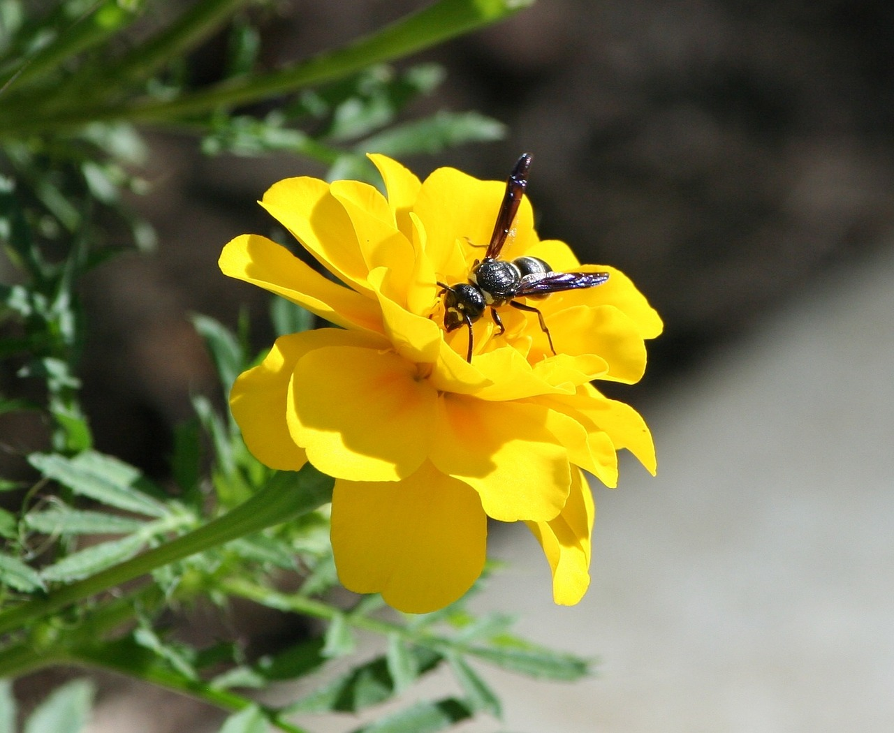 bee wasp hornet free photo