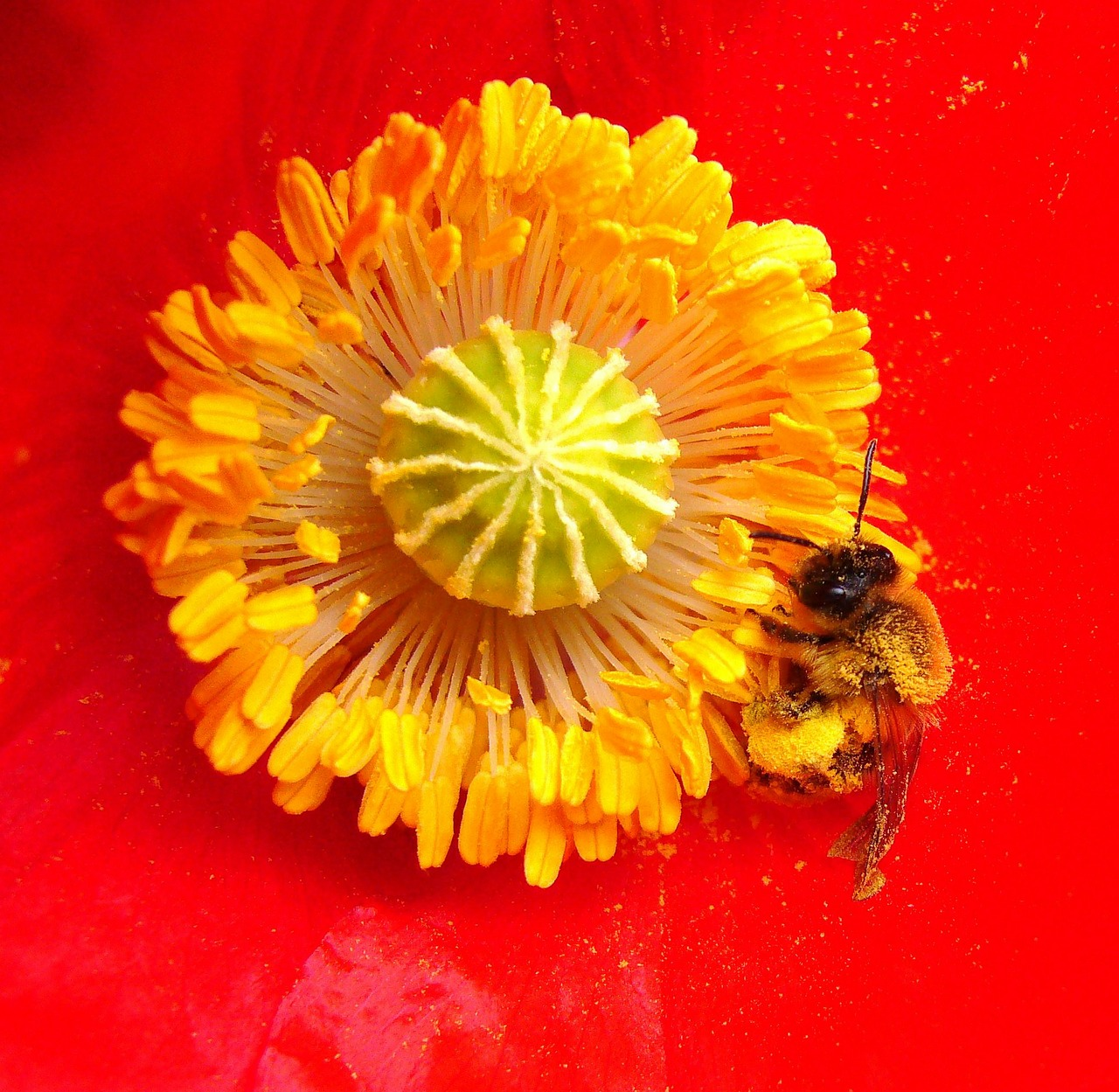 bee on poppy insect bee on flower free photo