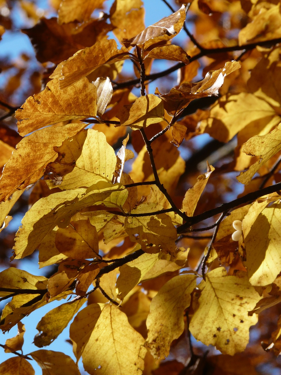beech beech leaves autumn free photo