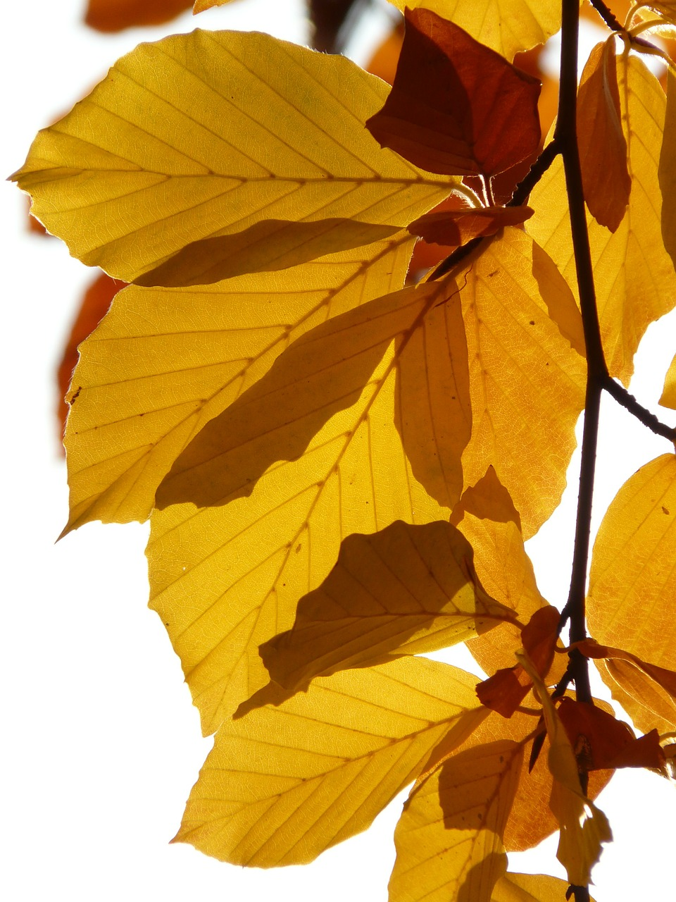 beech fagus sylvatica fagus free photo